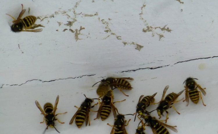 wespennest rondom woning